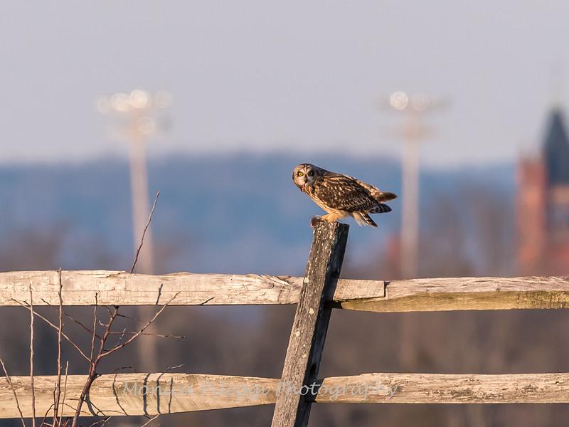 Short-eared owls 25 Jan 2018-2244
