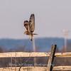 Short-eared owls 25 Jan 2018-2256