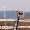Short-eared owls 25 Jan 2018-2247