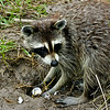 Raccoon 051106_0543