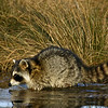 Raccoon 122805_6589
