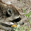 Raccoon 051106_0533