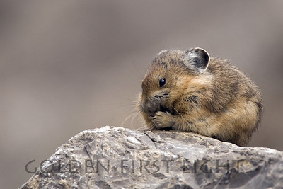 Pika, Jasper National Park