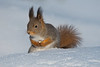 Eurasian Red Squirrel, Oulu Finland