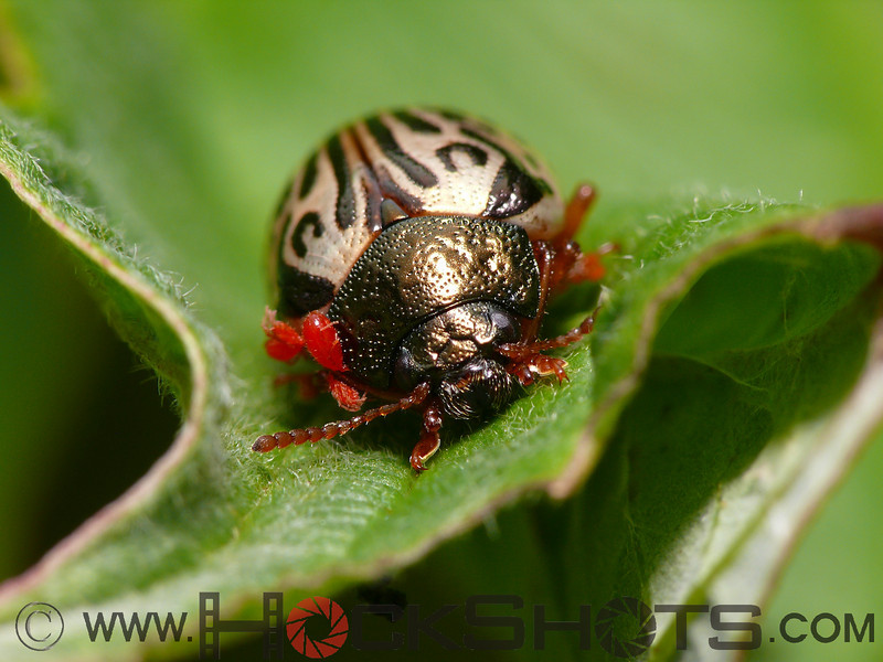 A Leaf Beetle with a mite infestation.
