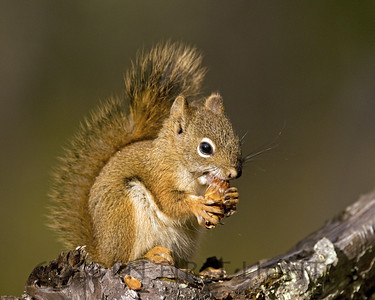 Red Squirrel, Jasper National Park