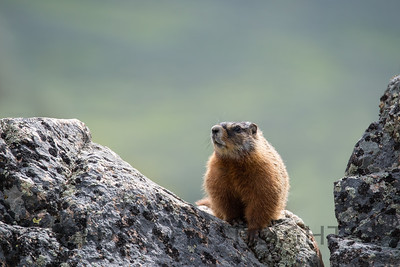 Marmot, Lamar Valley, Yellowstone National Park