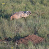 A second badger.  The first one is down in the hole by the mound of dirt in the foreground.