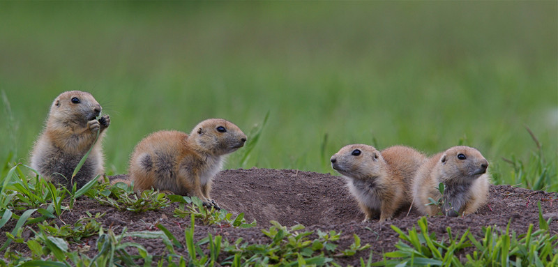 Prairie Dogs at the den