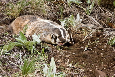 Badgers can get almost entirely flat to the ground.