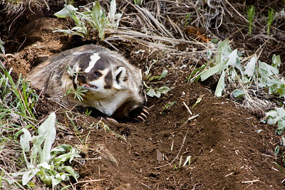 Badgers are the State animal of Wisconsin, and the mascot of the University of Wisconsin