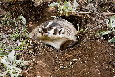 In the UK, badgers are protected by legislation  - while in other countries their meat is a cheap delicacy!