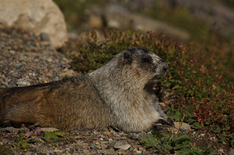 The Hoary Marmot, up at Logan Pass in Glacier National Park