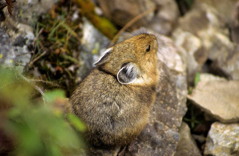 Pika's do not hibernate but they make warm, comfortable dens.  They gather hay and grass for bedding.  They have a high-pitched alarm call, like a whistle or squeak.