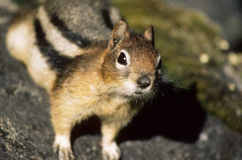 """""""Ok, give it up, i want that cookie.""""  Chipmunks are very active and do their best work harassing humans for treats."""