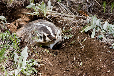 A badger emerges from it's burrow
