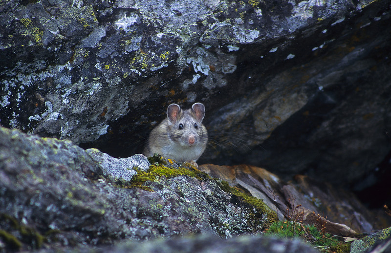 "The pika is a very small mammal, with short limbs, big rounded ears and a short tail.  The name pika is usually pronounced ""pye-ka.""  They are known by other names, rock rabbits or coneys."