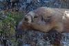 The rare Olympic Marmot