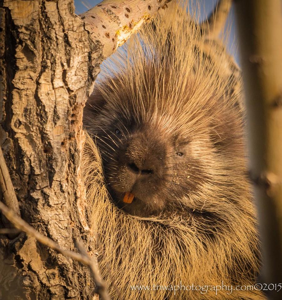 The sweet face of a porcupine Idaho © 2015  TNWA Photography / Debbie Tubridy