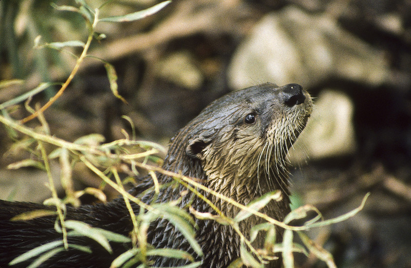 River otters are great hunters and fishermen.  They live near water, a stream or pond.  A very playful animal.