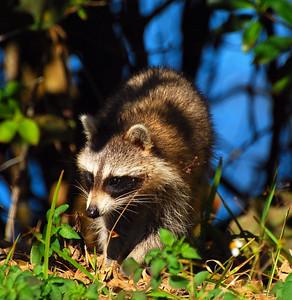Raccoon Ding Darling  Sanibel Island, Florida © 2009