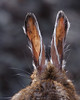 A Snowshoe Hare's ears as they shed the last of winter's white fur.