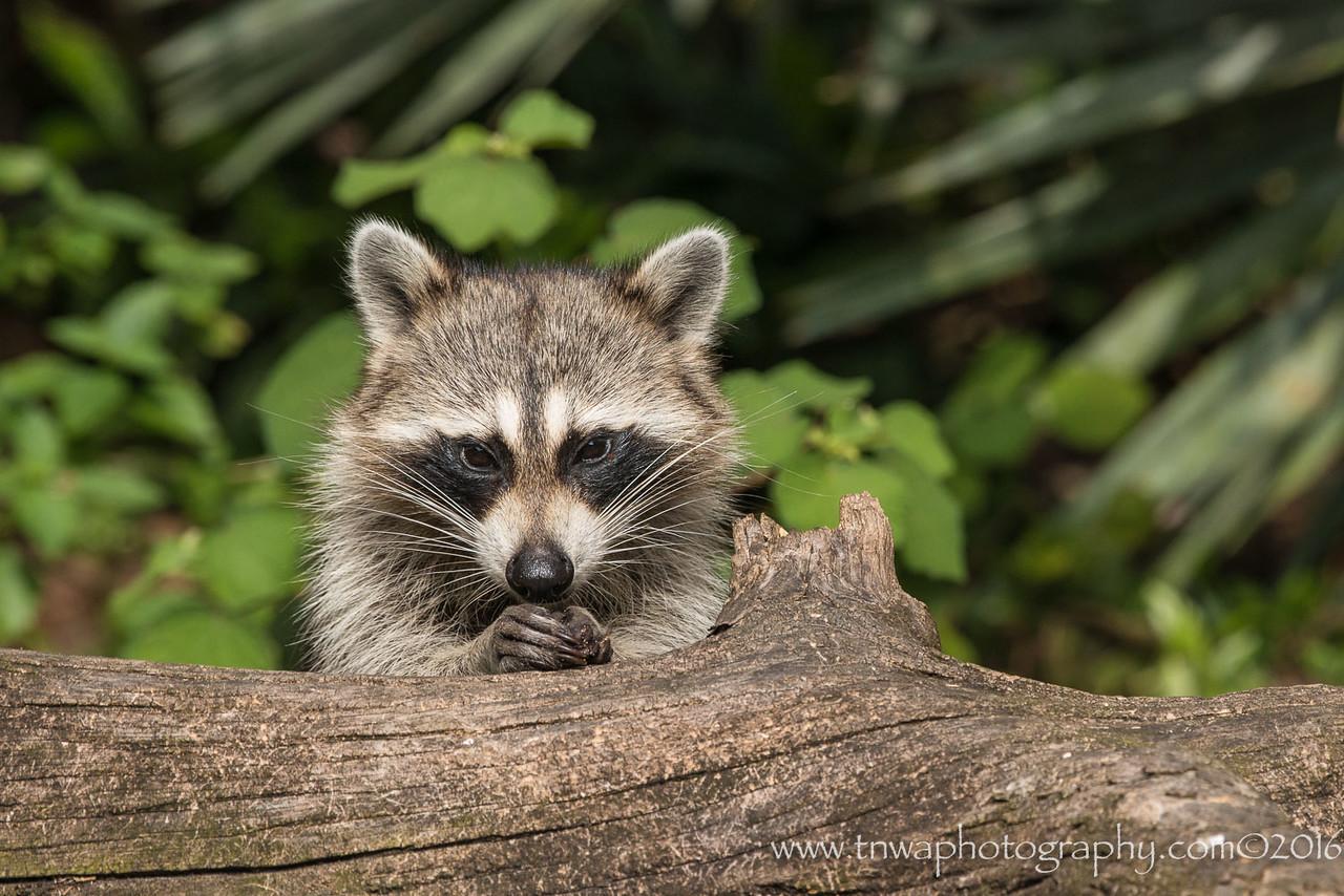 Praying Raccoon