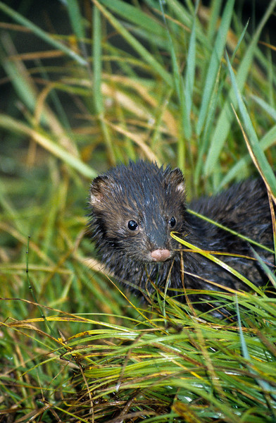Mink will range a long way for food, but never very far from the stream.  This gives them two options, upstream and down stream.