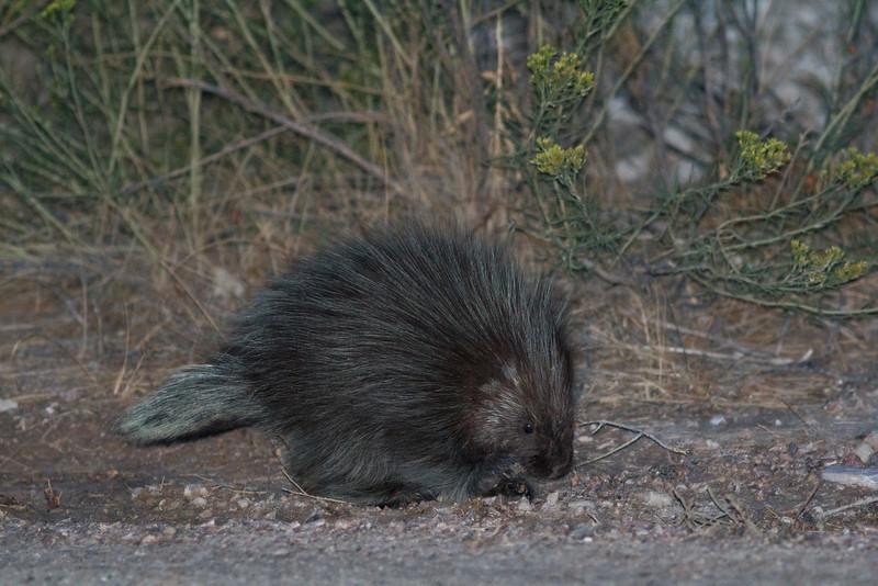 North American Porcupine, Badlands National Park