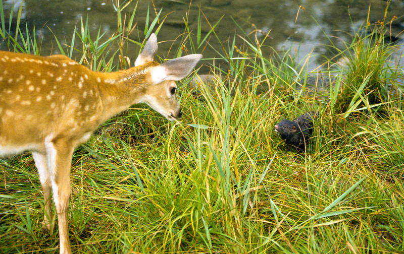 A mink and young deer who are neighbors along the stream, stop for  visit.  It looks like they don't know what each other are.
