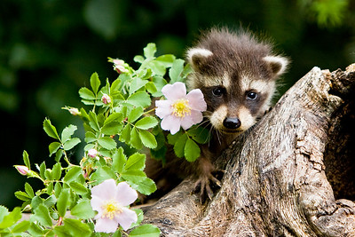 Baby raccoon peering out from behind a branch of the wild rose bush.