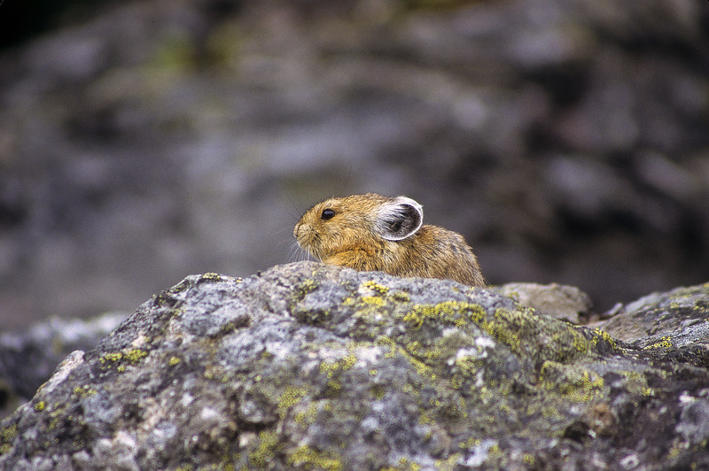 Pika's enjoy cold climates and are found in colder North American regions.  They live on rocky mountain slides, where they find numerous crevices for shelter.  Sometimes they burrow into the ground.