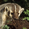 Badgers and very cute with kind faces but look out, they can be nasty and will fight to protect their home.