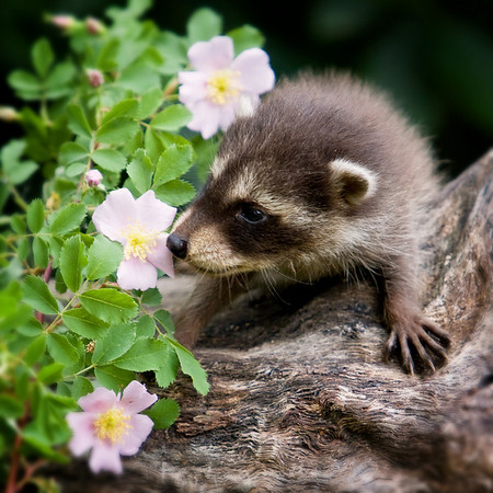 This young raccoon, exploring it's surroundings, is sniffing a wild rose.