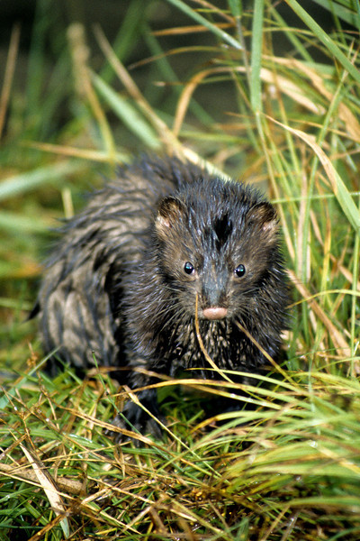 A wet mink coming from the stream after hunting for fish, crayfish or perhpas a frog.  Mink are related to the otter family and are just as playful.