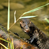This mink has just come out of the water and seems to have something in his mouth.  Hunting must have ben good.