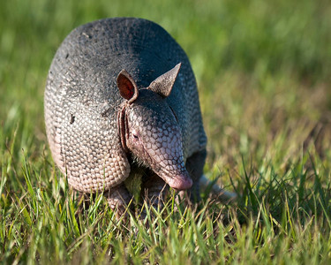 Nine-Banded Armadillo Port St. Lucie Florida © 2011