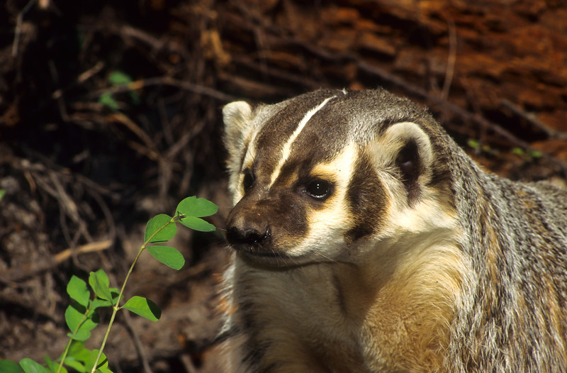 This cute badger is roaming close to his den.  They live in dens underground and these homes can be very extensive with many tunnels.  They are fierce fighters and very protective of their territory.