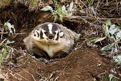 Badger at the entrance to it's burrow.