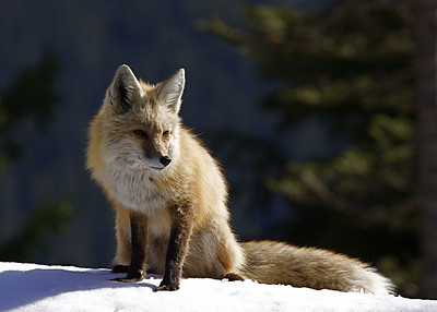 A cascade Fox  -  Vulpes vulpes cascadensis.   This one features the red color phase normally found in the common Red Fox.
