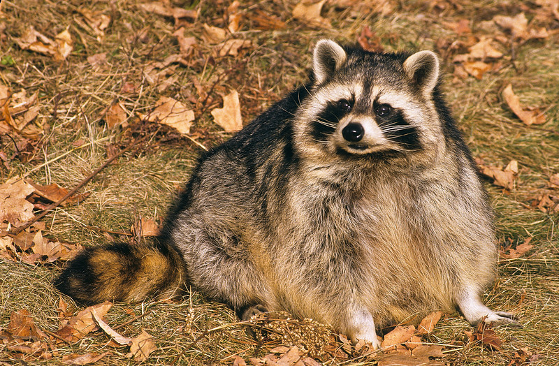 Mr. Raccoon is living near a camp site in Yellowstone National Park.  He seems to have been eating too many marshmallows.