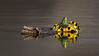 Painted turtle / Chrysemys picta