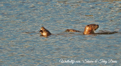 Ninepipes otter family
