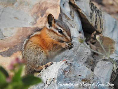 Snack time for Chipmunk