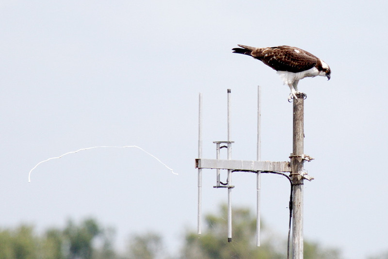 8005 And finally, an osprey (who also has serious claws) stands atop a water depth gauge assembly and shoots downwind. This photo is for Arnold, who's taken at least one such photo of a bald eagle shooting out of his nest.