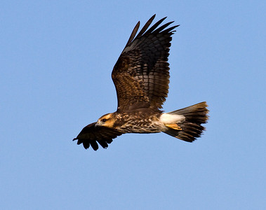 snail kite female