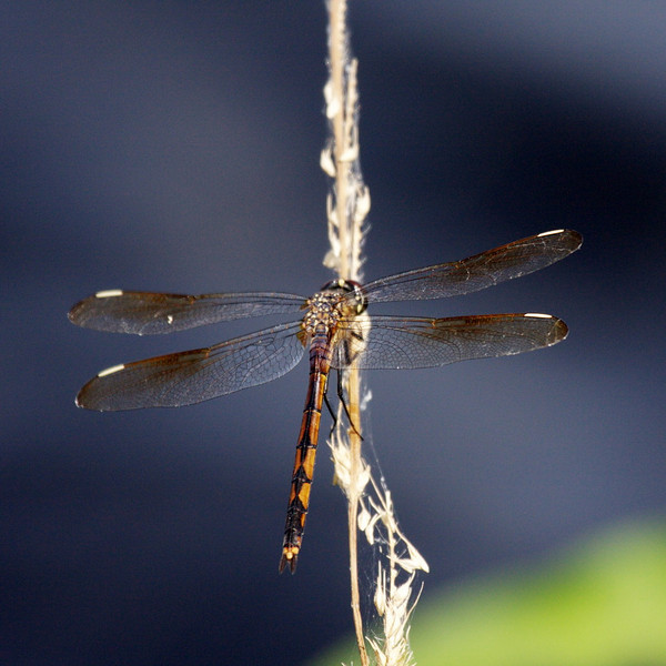 7911 Lake Jackson is home to much more wildlife than snail kites and limpkins, such as this pretty dragonfly.