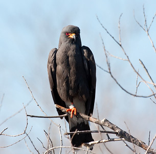 snail kite male