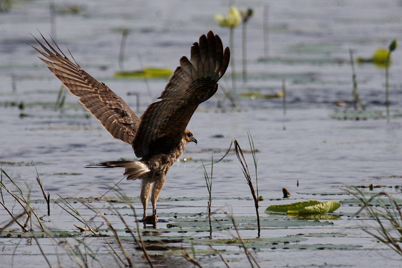 7674 A snail kite reaches with its claws down into the shallow water and selects an apple snail for lunch. I think this is a juvenile because of its dark brown coloring and because there's no orange on its bill.