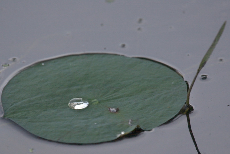 7716 A small, egg-shaped blob of water, holding within it an image of its surroundings, sits atop a lily pad. I turned the image upside-down to see if I could see Ursula, Arnold, and me in the blob, but it was too small.